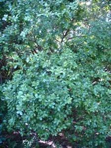 Cuban Lignum Vitae Champion Trees Image